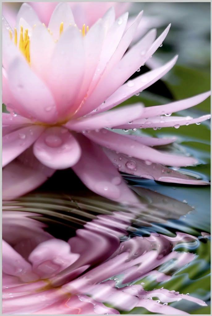Pink lotus flower on water image pic photography pinterest pink lotus flower on water image pic mightylinksfo
