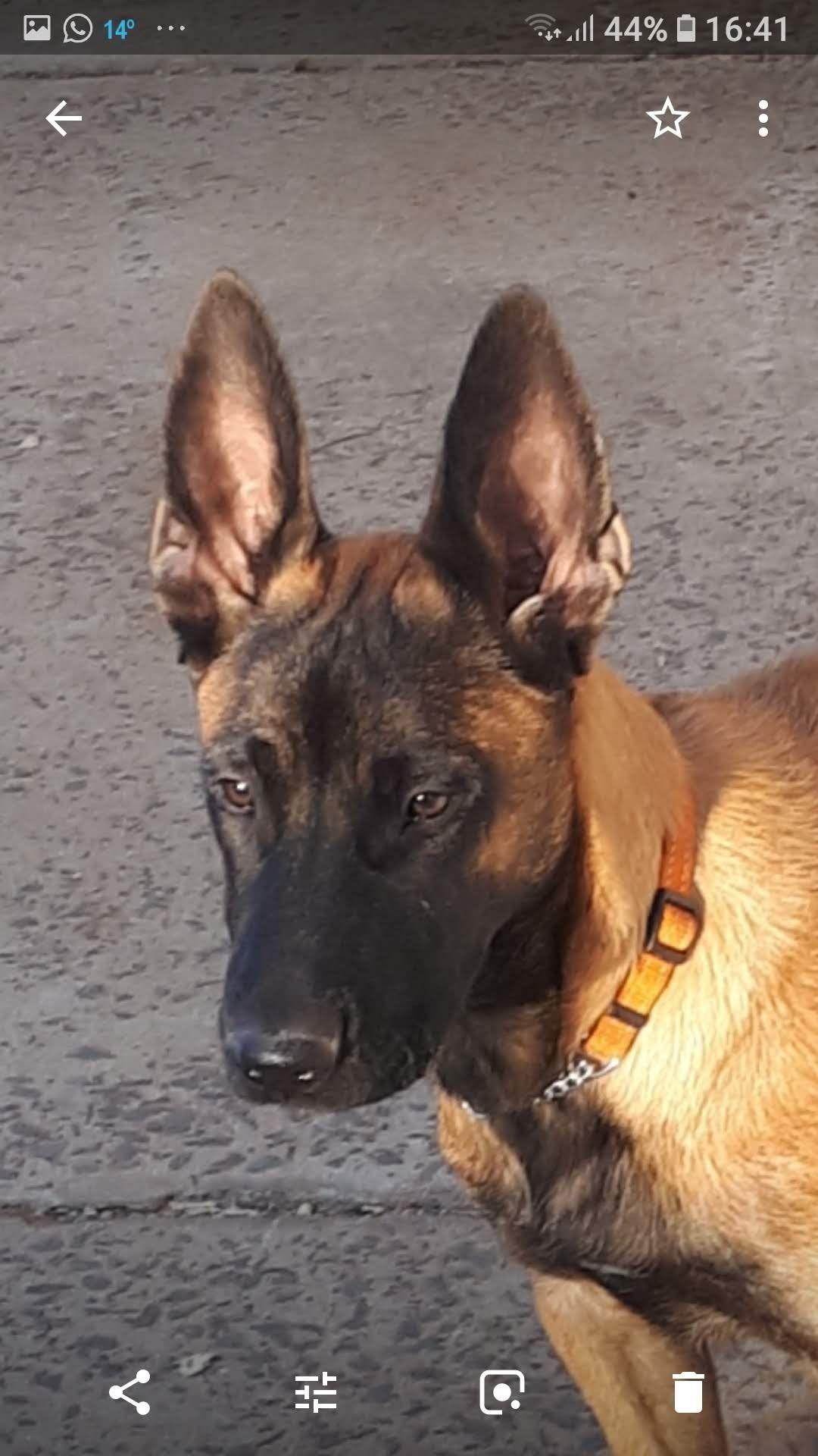 Growing Malinois Dog Belgian Malinois Belgian Malinois Dog
