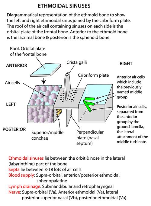 Orbital Roof Of Frontal Bone