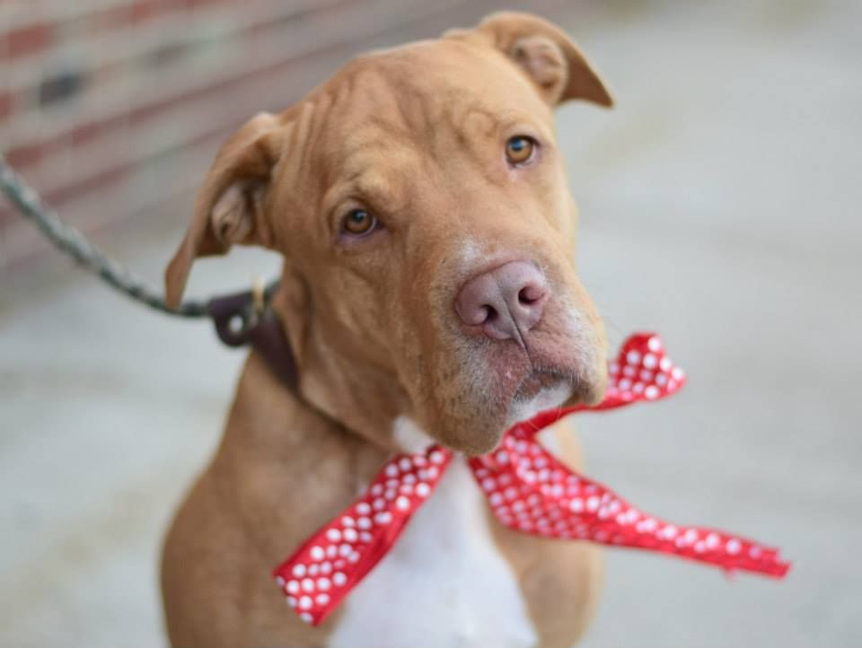 Brooklyn Center KING - A1023114 NEUTERED MALE, TAN / WHITE, LABRADOR RETR / PIT BULL, 4 yrs OWNER SUR - EVALUATE, NO HOLD Reason PETS CONFL Intake condition UNSPECIFIE Intake Date 12/14/2014, From NY 11203, DueOut Date 12/14/2014, https://www.facebook.com/photo.php?fbid=924897590856454