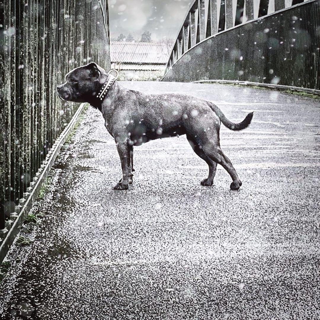 Skin Allergies In Dogs Staffordshirebullterriersofinstagram Blue