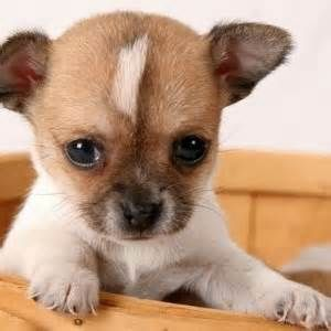Puppies That Stay Small Cute Small Dogs Cute Dogs Breeds