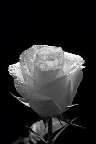 Wet Rose Black And White Roses White Roses Wallpaper White Roses