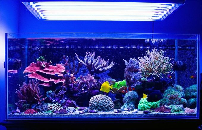 If you want to see what an aquarist can achieve with 50 gallons (192 liters) of seawater, here is your benchmark. You owe it to yourself to watch his latest video in HD (720p at minimum). The only thing that is higher quality than the video production is Pedro's tank itself.