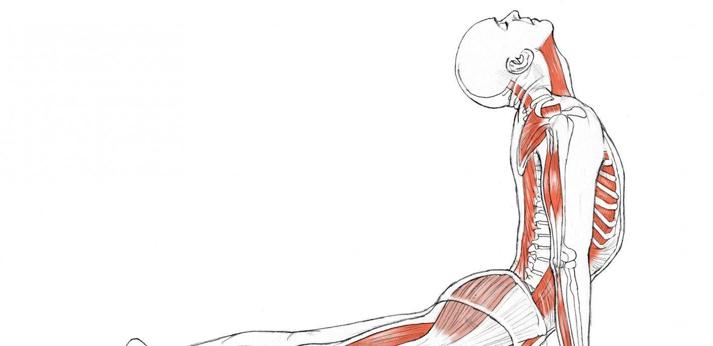 Yoga Anatomy: Upward-Facing Dog | Yoga, Meditation, Massage, Reiki ...