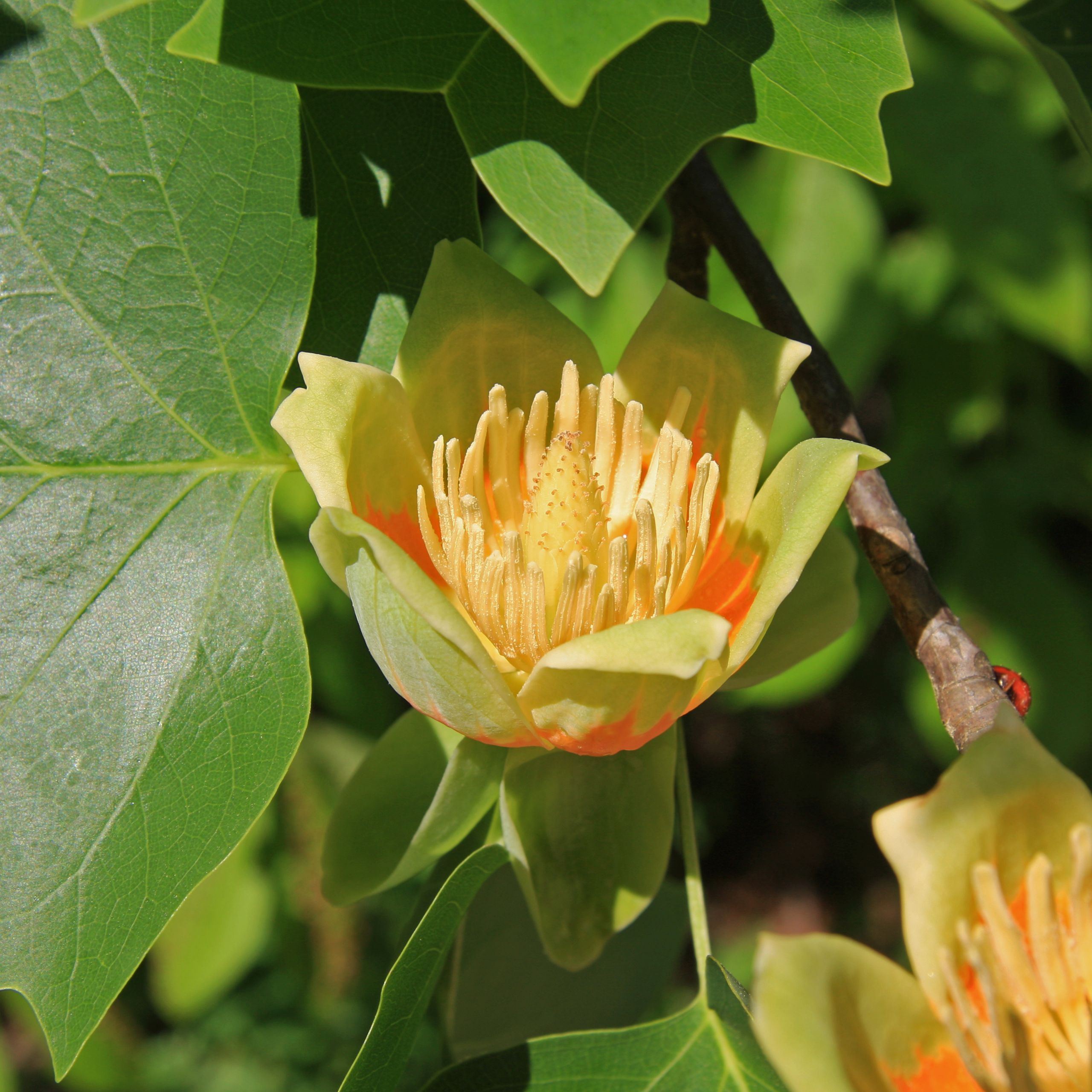 What Tree In North Carolina Has A Green With Orange Flower Google Search
