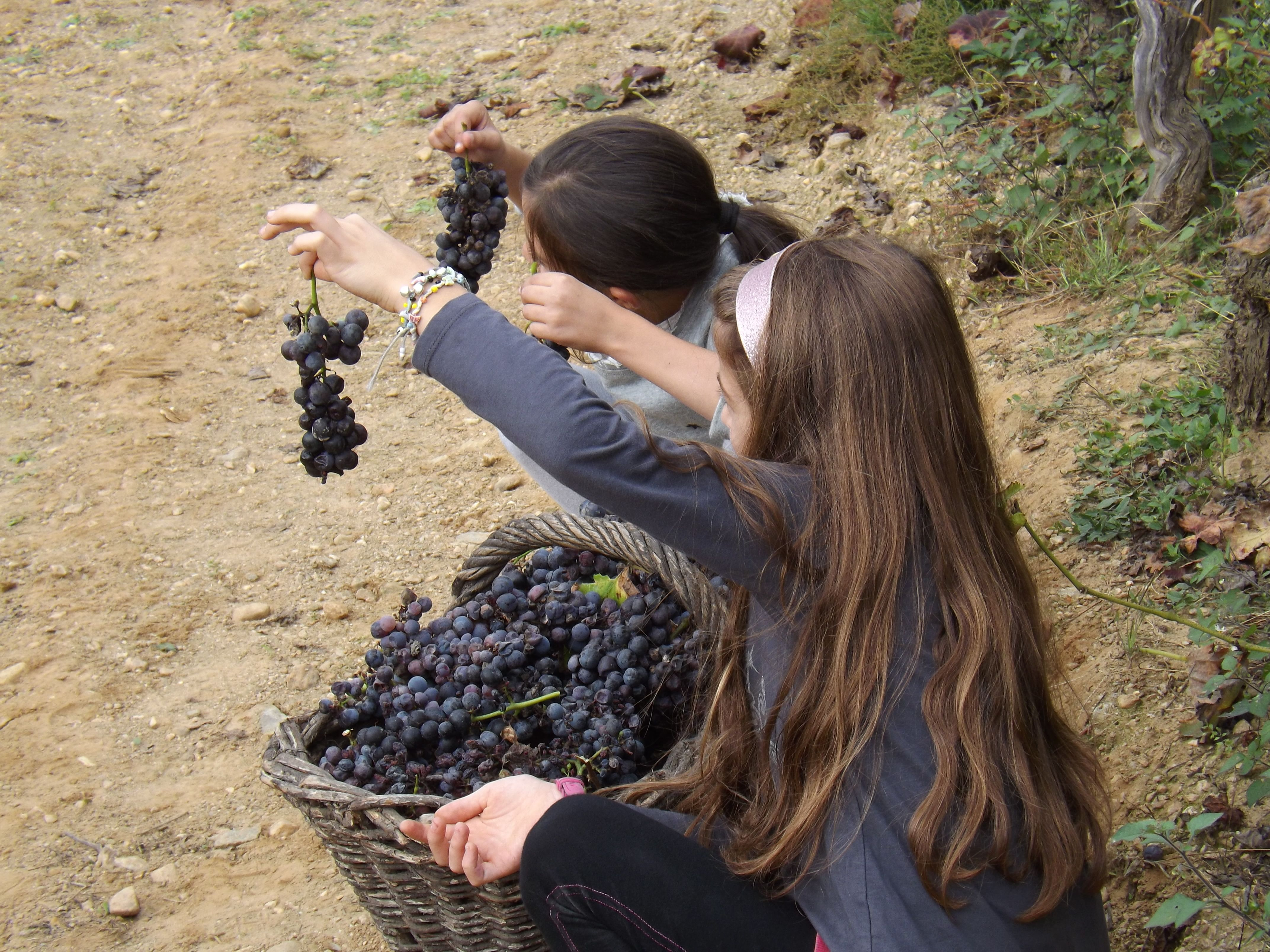 Lo spettacolo dei grappoli raccolti