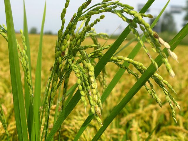 Morpho-physicochemical characterization of Kartiksail rice(Oryza ...
