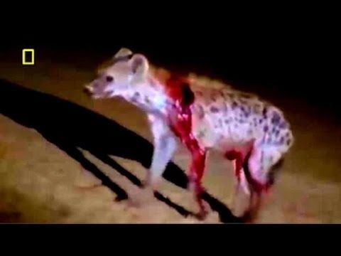 Documental de Leones - La Venganza de los Leones - National Geographic D...