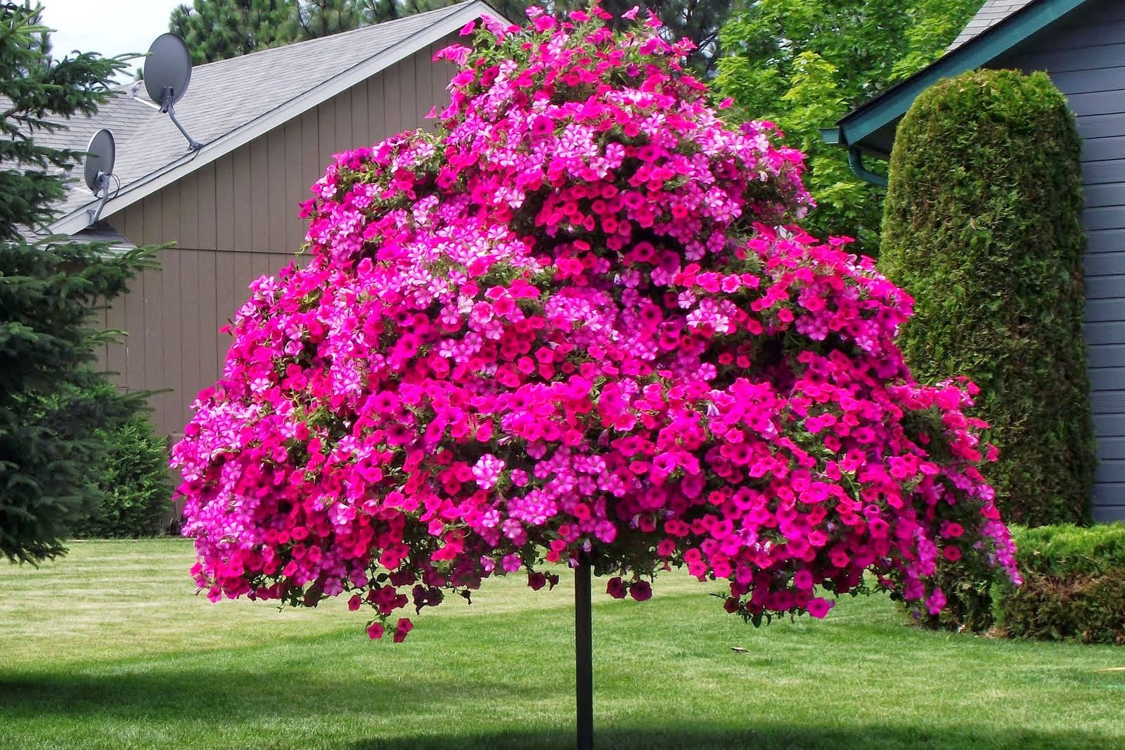petunia+tree.jpg (1600×1067)