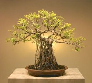 Bonsai 300x270 Jpg 300 270 Bonsai Tree Bonsai Bonzai Tree