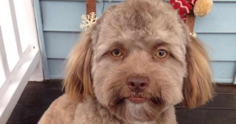 This Adorable Shih Tzu Dog Has A Human Face And We Don T Know