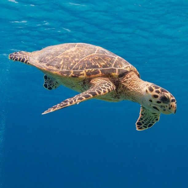 #Seagrass is a food source for some marine #turtles and as the effects of #climatechange may reduce the amount and spread of seagrass its availability to turtles may decrease via #Australia Government bit.ly/1Kr5tUG by SF Brit bit.ly/1TNQA98 #ClimateFacts