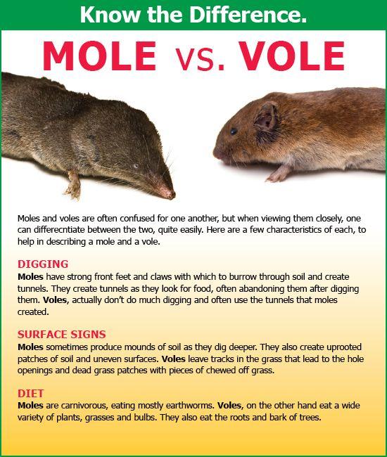 Vole Vs Mole Moles Voles