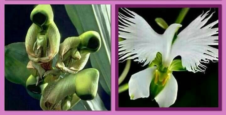 The Flower Of The Holy Spirit This Orchid Looks Like Praying Saints Before Blooming And Then Opens Up And Looks Remarkably Lik Rare Orchids Orchids Flowers