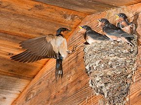 How To Get Rid Of Barn Swallows Effective Tips To Control Colorful Birds Barn Swallow Swallow Pest Control