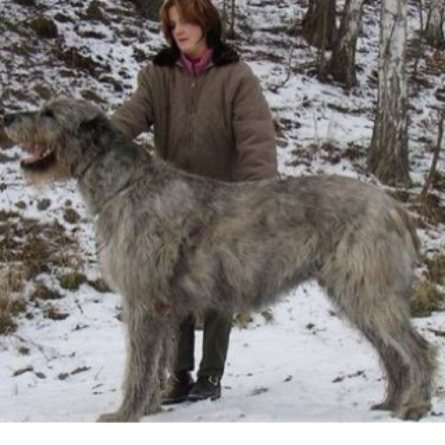 Irish wolfhound :). One day hopefully.