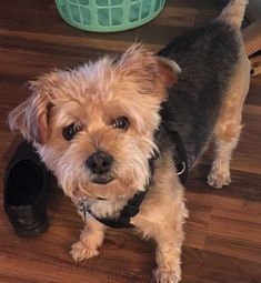 Adopted! Annie - Yorkshire Terrier Yorkie/Poodle Mix ...