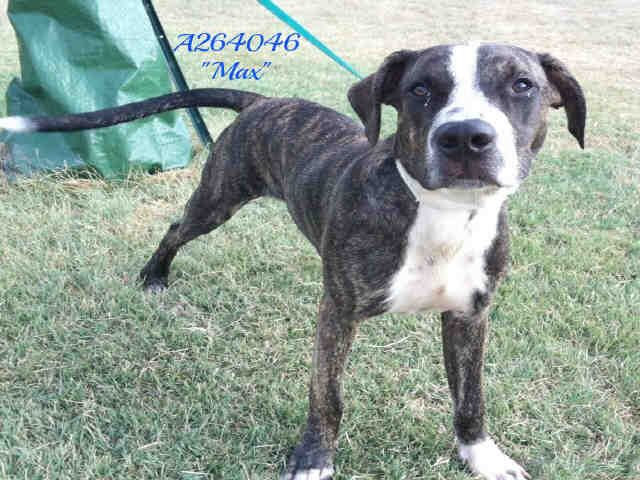 San Antonio Acs Shelter Hello My Name Is Max Id A264046