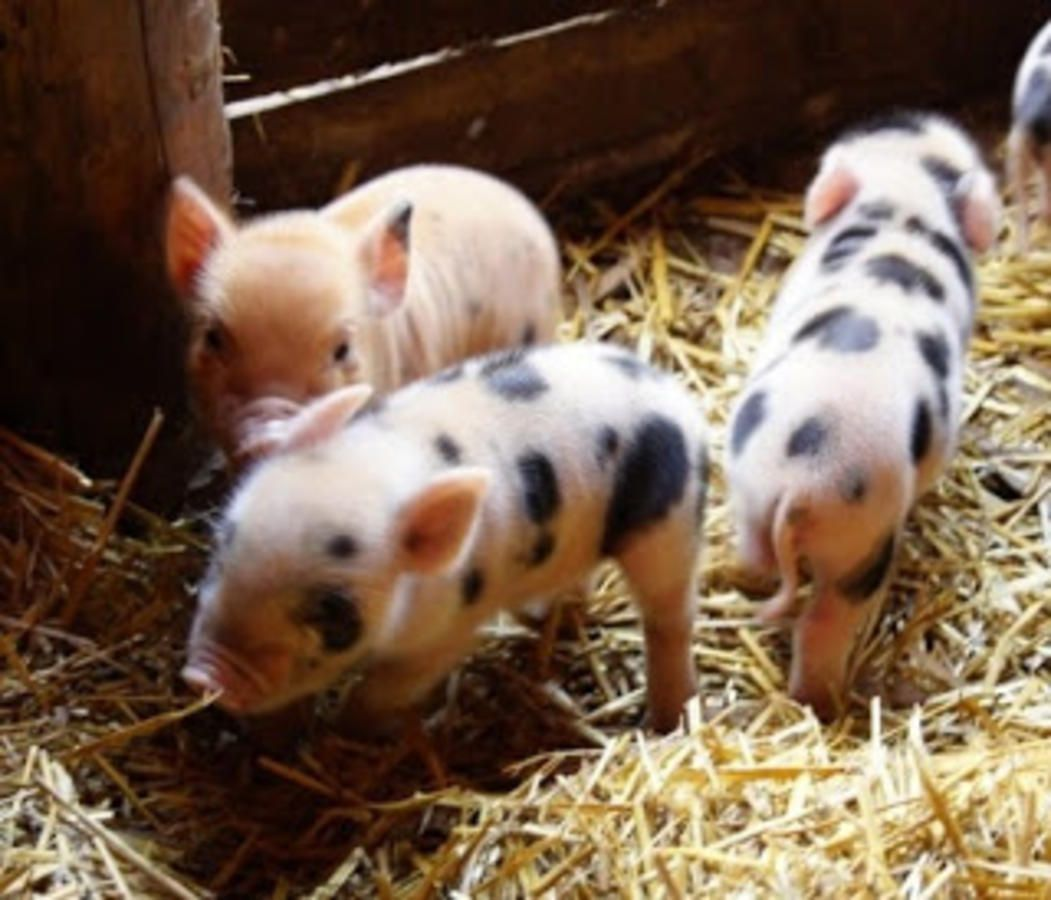 Cute animals for sale - Miniature Animals As Pets Cute Mini Pigs For Sale Starting At 250 00 And Up