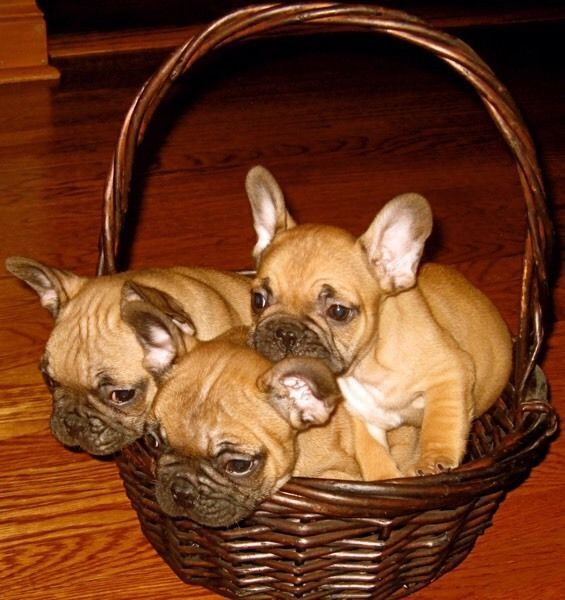 Royal French Bulldogs Breeder Is Proud To Announce A Litter Of