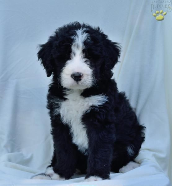 Dasher Bernadoodle Bernese Poodle Puppy For Sale In Glenmont Oh Lancaster Puppies Puppies Poodle Puppies For Sale Poodle Puppy