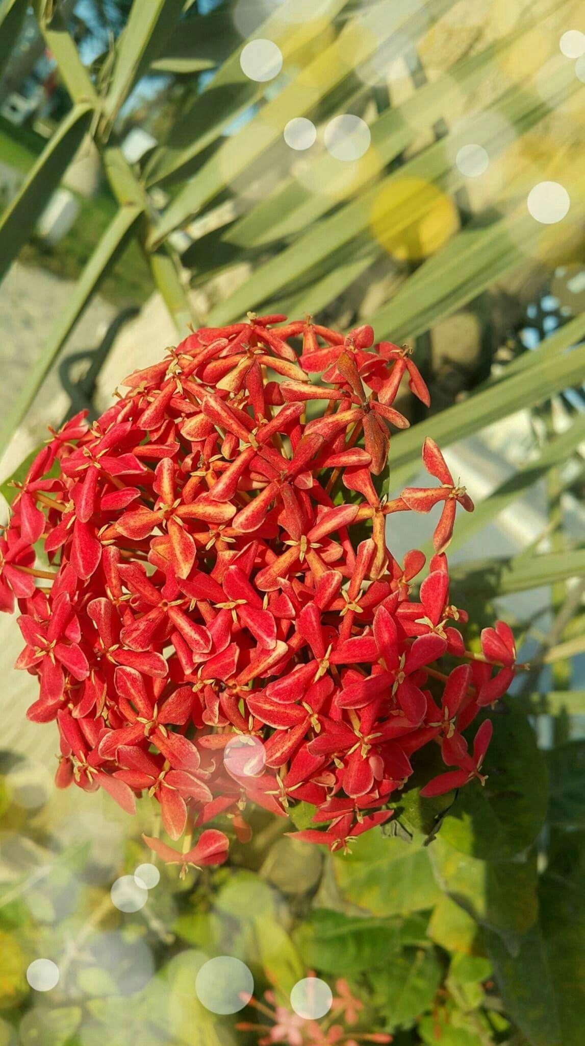 تصويري أمل الحسن جدة Flowers Plants Red Peppercorn