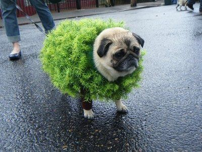 Chia Pug Have To Remember For Halloween Too Cute For My Fluffy