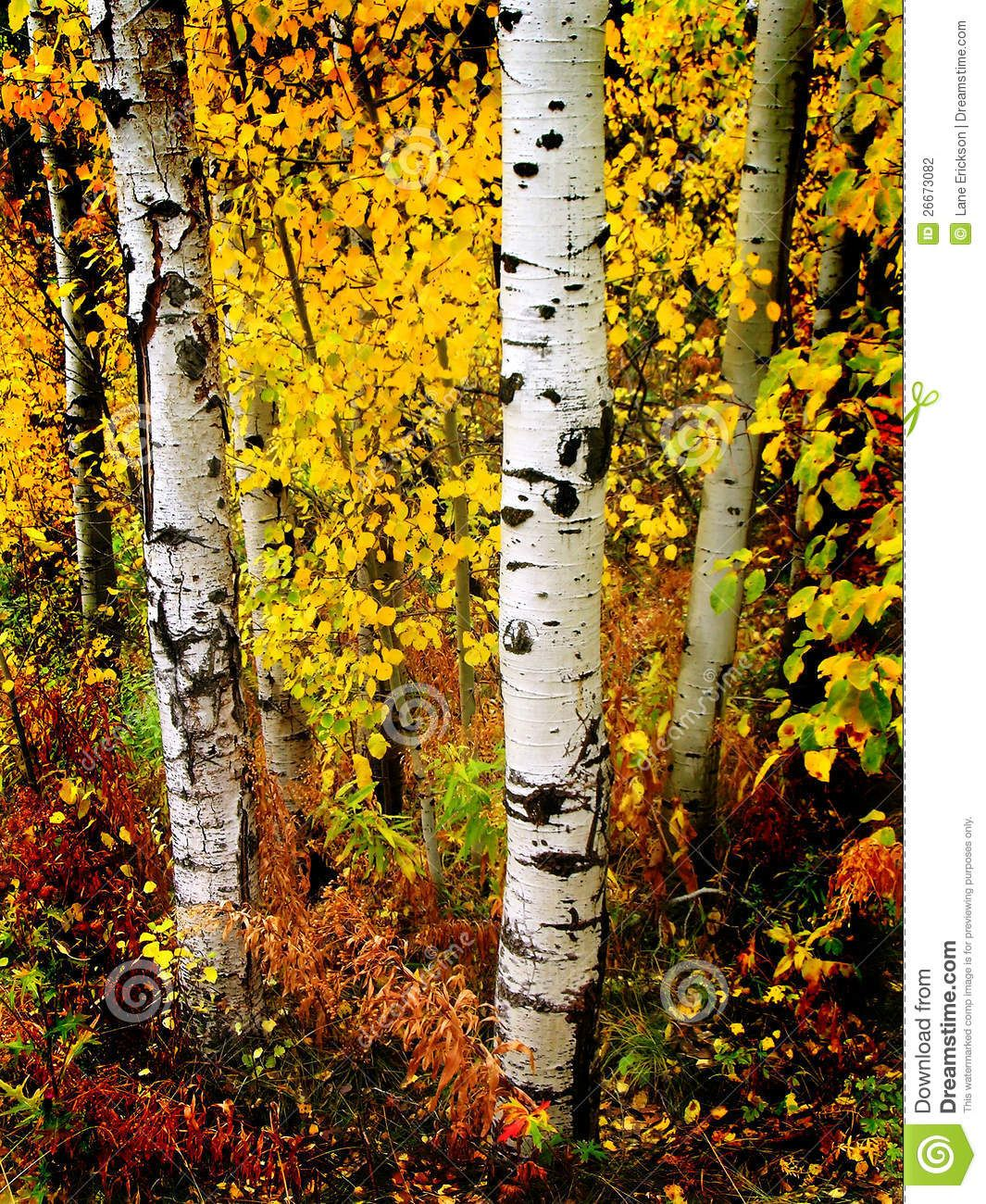 Wallpaper Images Of Fall Trees Lined Lake Pictures Of Birch Trees In The Fall Detail Of Several