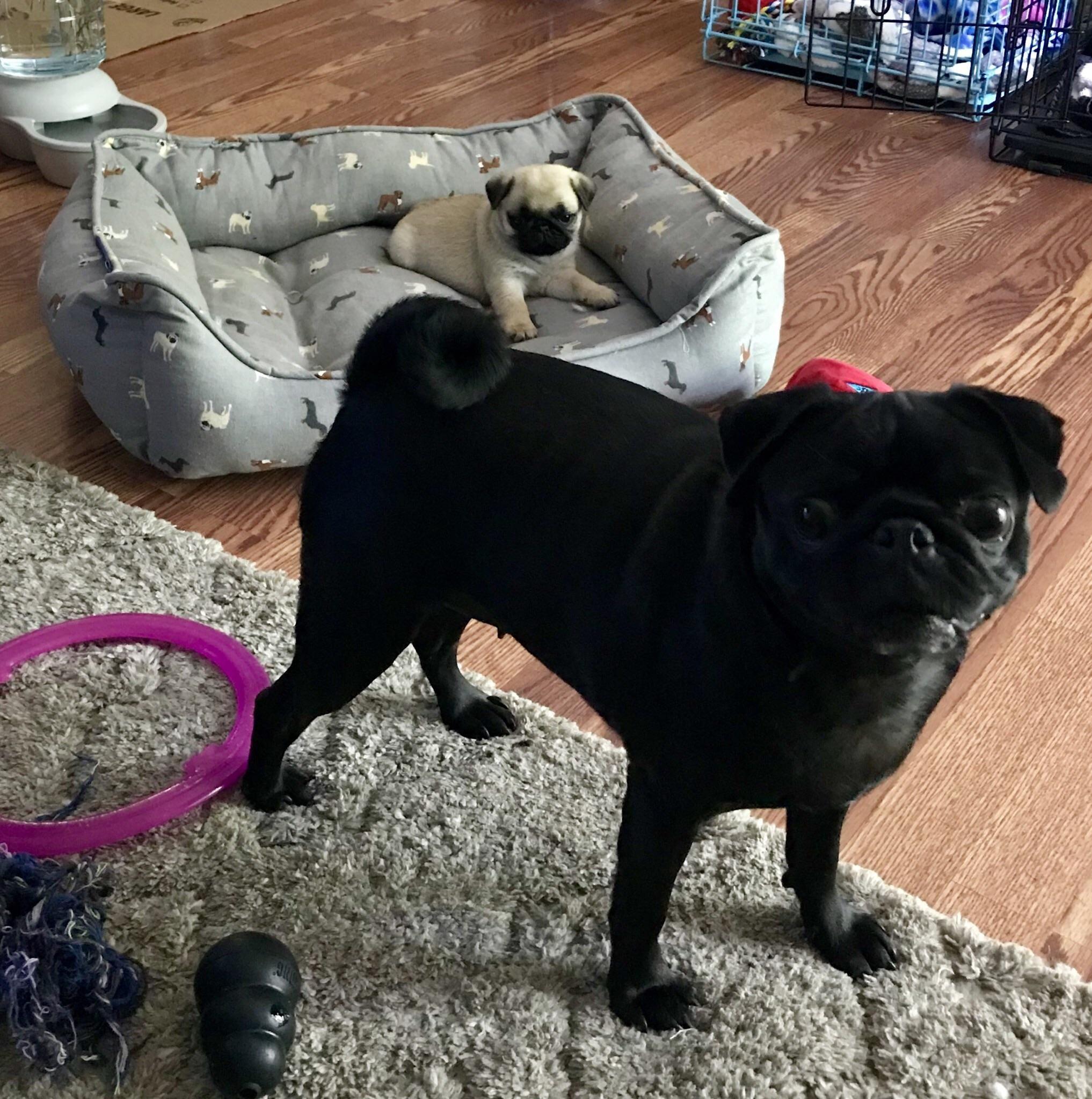 Happy pug day from dottieblack and poppyfawn https