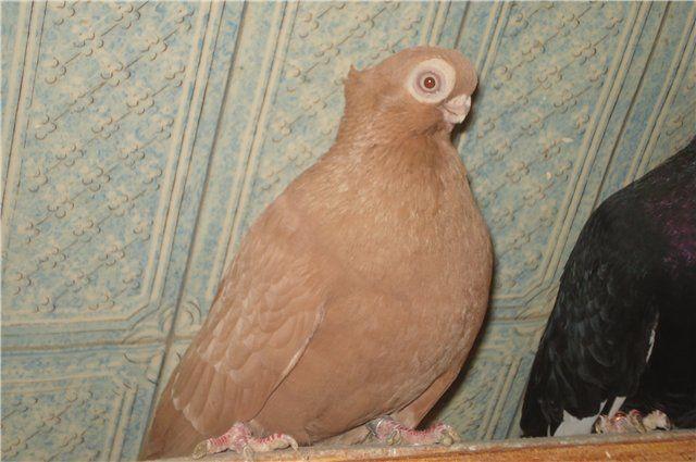 турман фото голубь