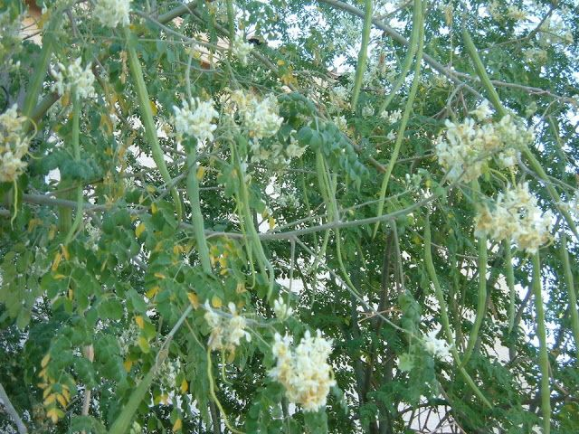 Ideal Conditions Required For Growing Drumstick Moringa Oleifera Agriculture And Technology Moringa Tree Moringa Banana Flower