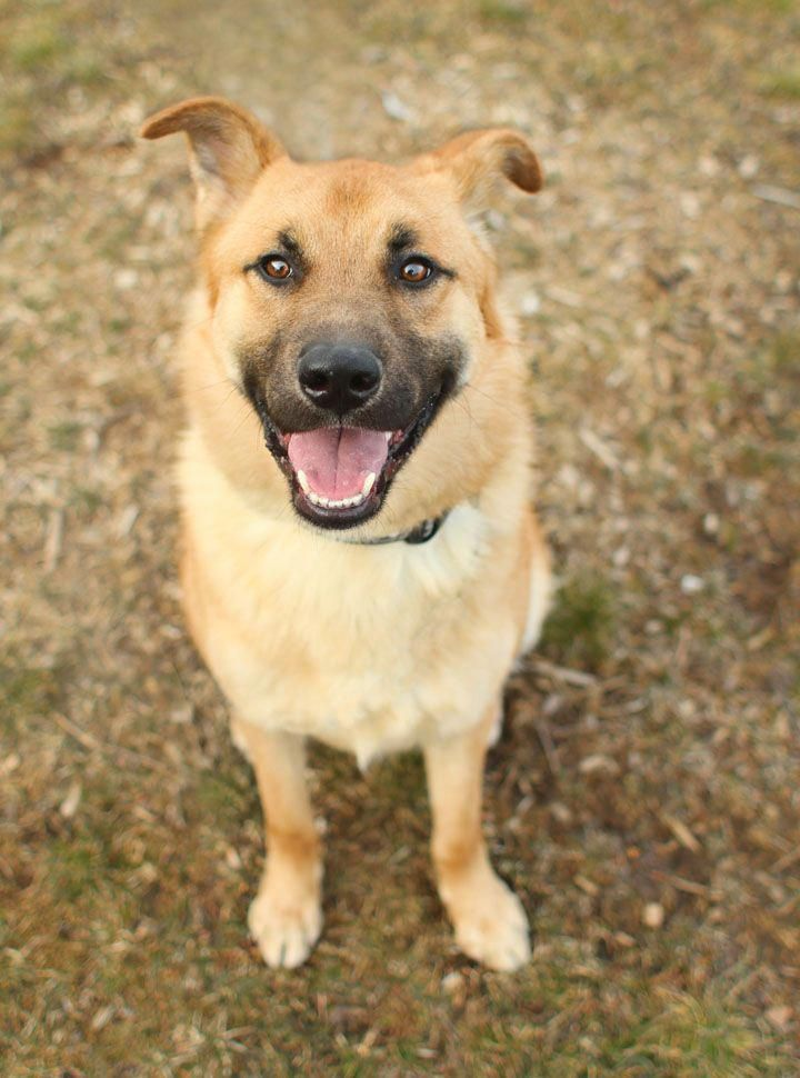 German Shepherd Mix bestpetinsurance Pet care dogs, Dog