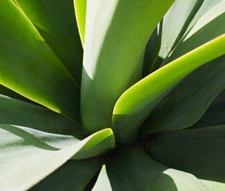 Les vertus de l'aloe vera | Plants, Plant leaves, Leaves
