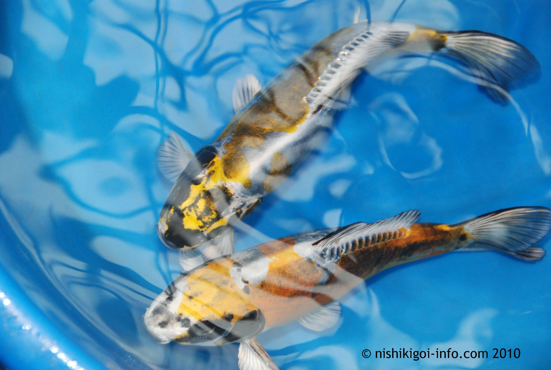 Google Image Result For Http Www Nishikigoi Info Com Kawarigoi Jpg Koi Fish Koi Fish Information