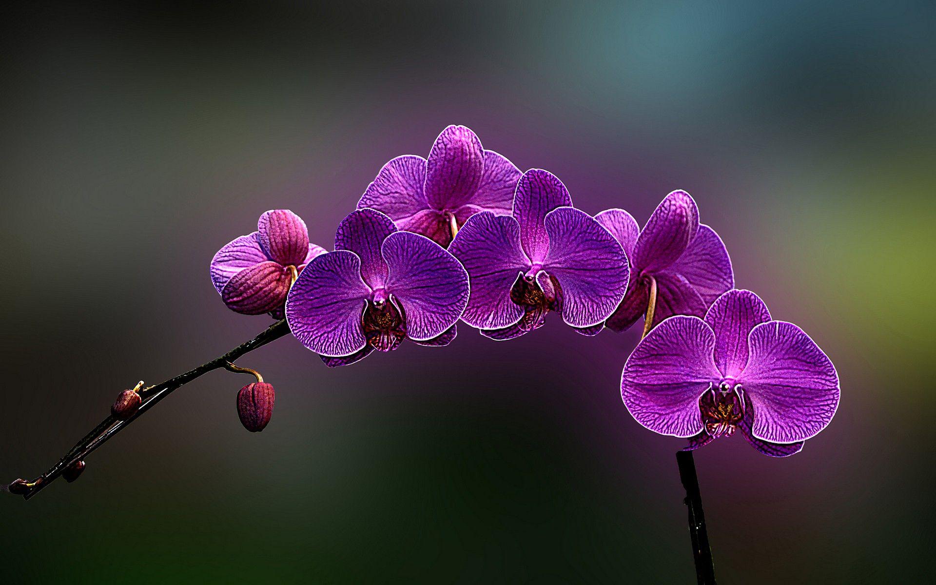 Orchid Flower Flowers Orchids Wallpaper 1920x1200 Flowers Orchids Purple Flowers Orchid Wallpaper Types Of Purple Flowers Purple Orchids