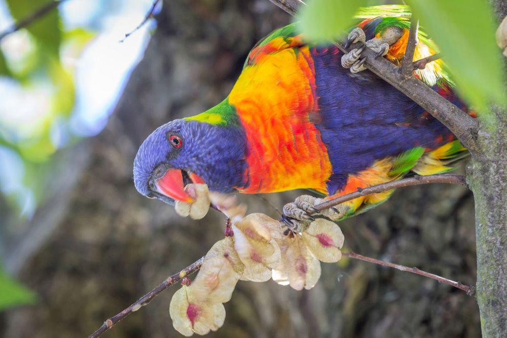 ببغاء اللوركيت قوس قزح احد اجمل الببغاوات على وجه الارض موضوع شامل طيور العرب Parrot Bird Rainbow