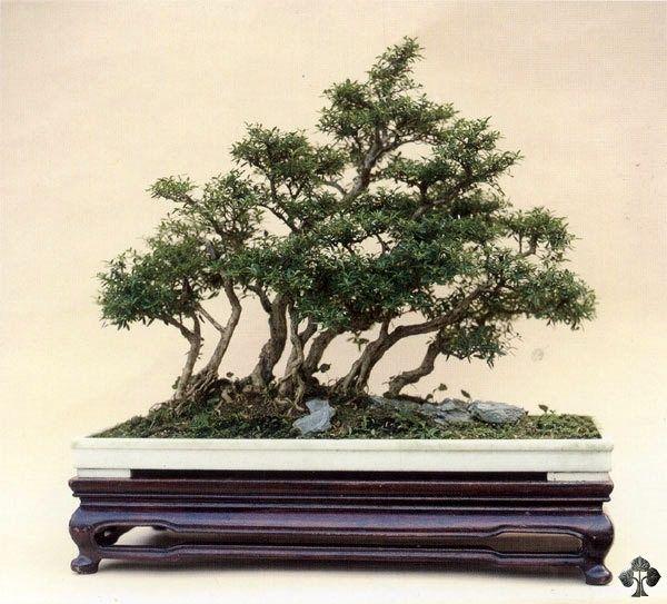 Serissa Foetida Snow Rose Bonsai Tree Bonsai Art Bonsai Forest