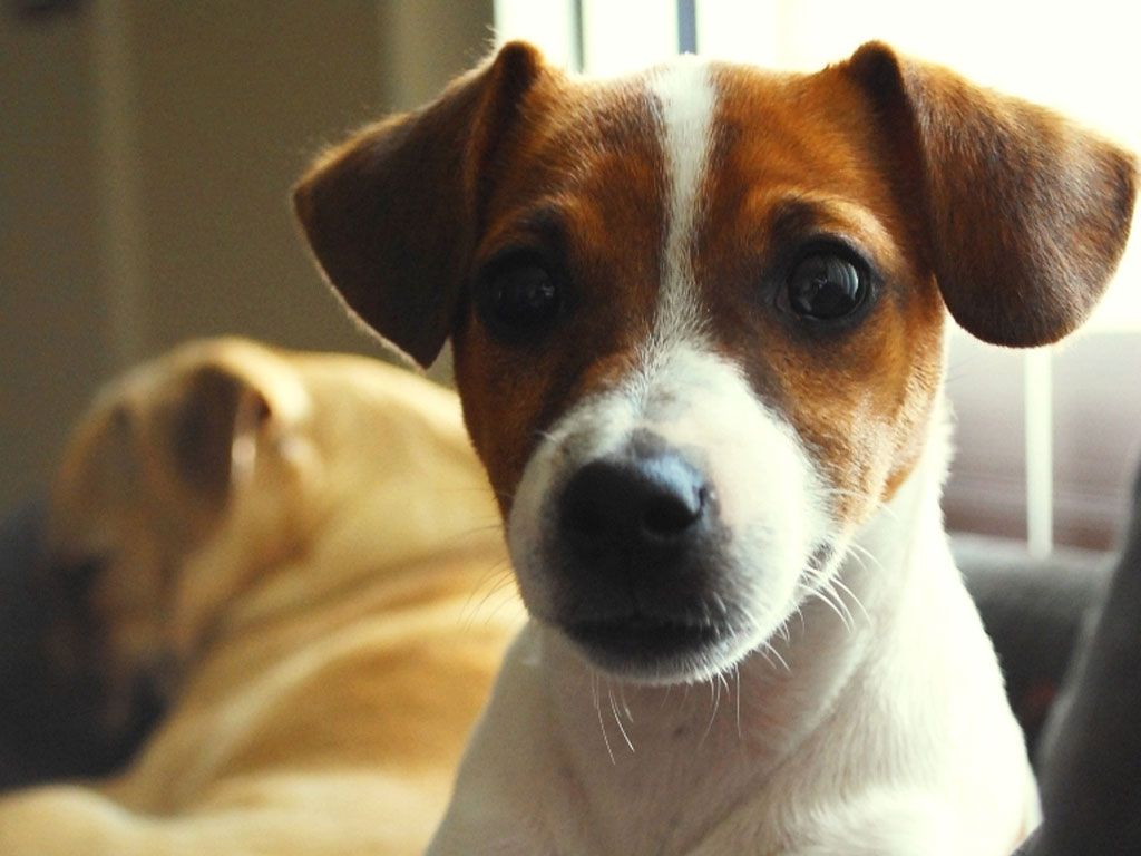 dogs wallpapers amazed face of jack russell wallpaper makeup
