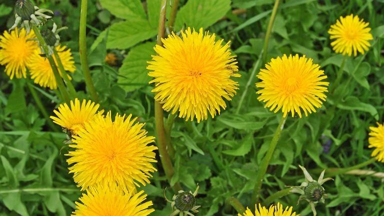Chwasty Jadalne Plants