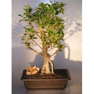 Bonsai Boy's Ficus Retusa Bonsai Tree with Banyan Roots ficus retusa$250.00: www.amazon.com/Bonsai-Ficus-Retusa-Banyan-retusa/dp/B007JVCHW2/?tag=sure9600pneun-20