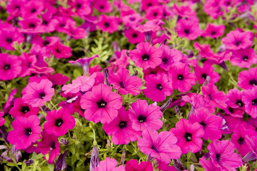 Beau Closeup Of Bright Pink Garden Flowers By Tim Laman