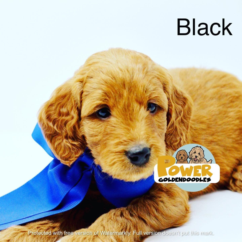 Goldendoodle Puppies California Sale Ideas