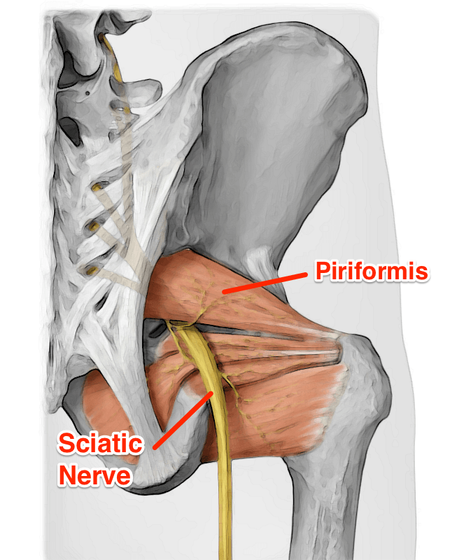 Want to know more about the piriformis? | Massage Therapy ...
