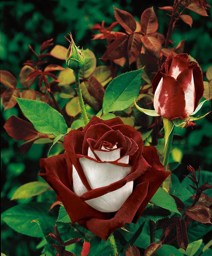 Idea By Maddie Blank On Nature And Travel Photography Hybrid Tea Roses Black Rose Flower Rose Seeds
