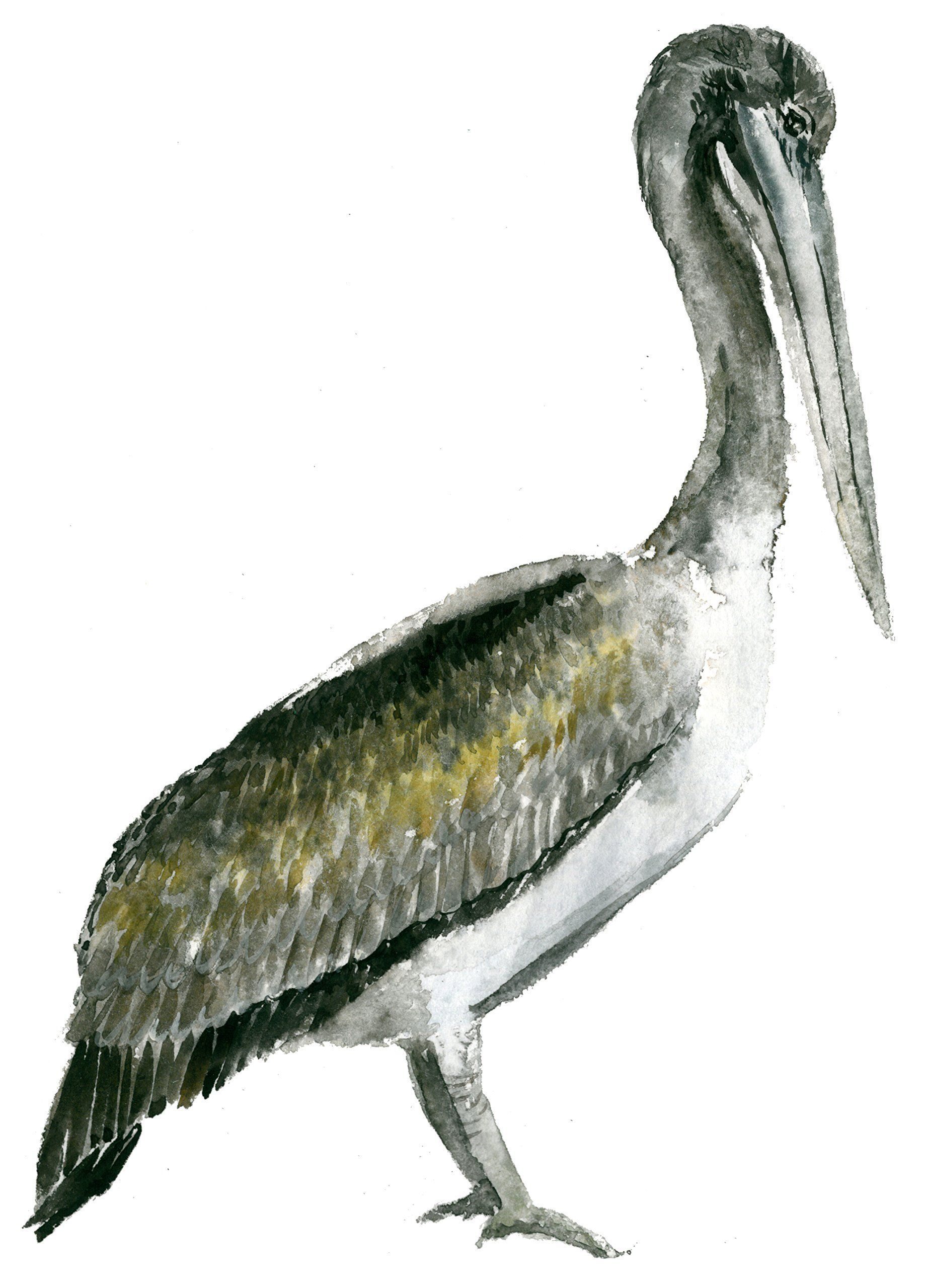 Pelican art print (8x10). #A060 Pelican artwork.Pelican watercolor painting.Pelican painting.Pelican wall art.Wall decor. Hello! This Print is taken from my original watercolor! Printed on high-quality white paper! Print measures: 8x10 inches. Frame is Not Included.