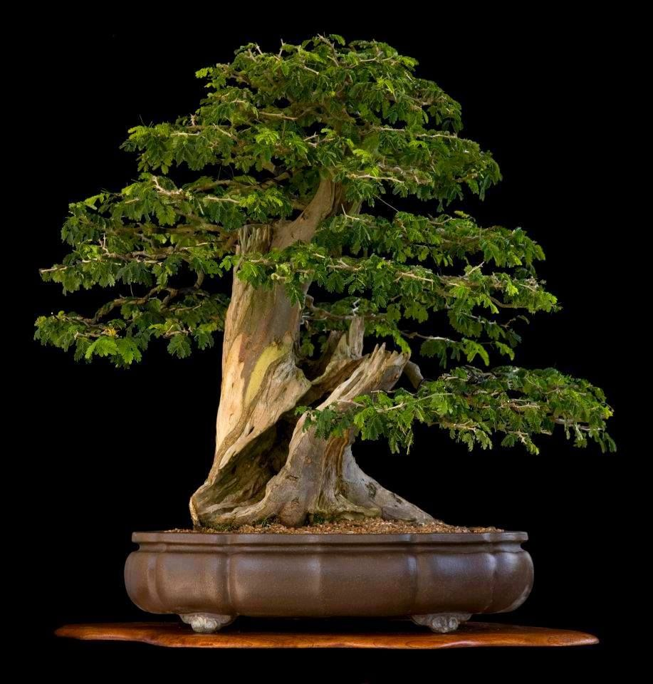 from Tae Kukiwon bonsai. As you look at this bonsai tree...would you make the bonsai design to be like this or would you only get to this after it suffered this dead section that was hollowed out?