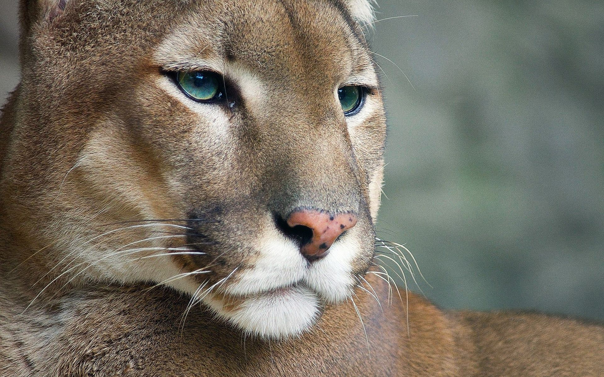 cougar photos | nice cougar wallpapers pictures photos images | wild