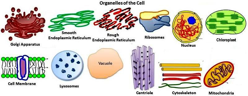 Organelles 1  Cell Wall  Plants And Bacteria  2