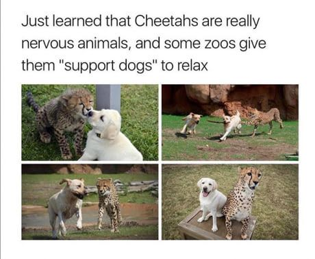 The moment when you realize that your cheetah is cheetahing on you